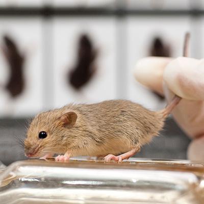 Rodent Models image
